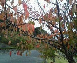 桜枯葉web75 (2)