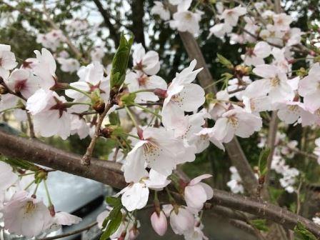 桜 花web (2)
