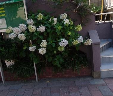 路地裏の紫陽花1 (2)