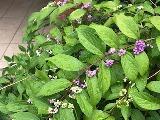 紫式部紫m (2)